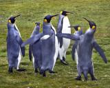 King Penguins slapping flight.jpg