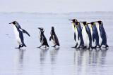 King and Magellanic penguins walking on beach.jpg