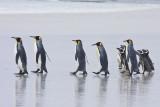 King and Magellanic penguins walking to beach 2.jpg