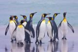 King Penguins on Beach at Volunteer Point.jpg