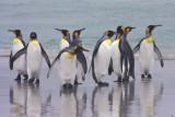 King Penguins grouped on beach.jpg