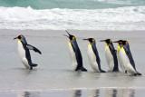 King Penguins walking into sea.jpg