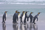King Penguins about to enter sea.jpg