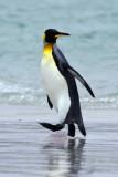 King Penguin coming out spraying.jpg