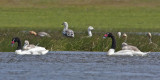 Black necked swans upland geese.jpg