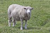 Falkland sheep.jpg