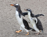 Gentoo baby chases mom.jpg