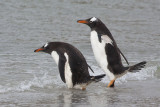 Gentoo duo about to enter sea.jpg