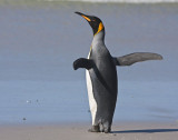 King penguin flapping by sea.jpg