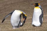 King penguin scratching.jpg