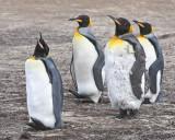 King penguin molting.jpg