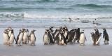Magellanic Penguins on beach.jpg