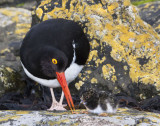 Magellanic Oystercatcher with baby.jpg