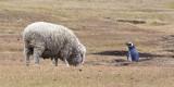 Sheep  near Magelanic.jpg