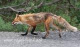 a Denali National Park red fox 'strut'...resident