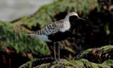 Black-bellied Plover