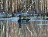 Ducks, Various