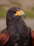 Birds of Prey, Captive, Various