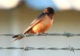 Swallows, Various