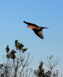 Sharp-shinned Hawk (adult)