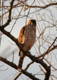 Sharp-shinned Hawk, January 28, 2012, Breezy Point, NY
