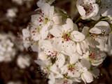 Ornamental Crab Apple Blossoms