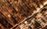 Närbild av fjärilsvinge (påfågelsöga)