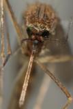 Färgglatt myggöga
