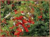 cedar waxwings 4.jpg