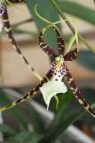 orchid brassia