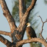 waiting eagle