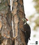 pileated woodpecker in residence