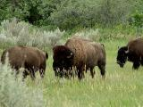 bison bull following a prospective mate