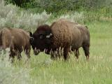 bison bull and his mate