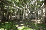 banyan tree at the edison ford estate
