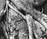 strangler close up