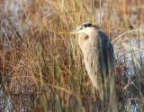 great blue heron in sawgrass wetland