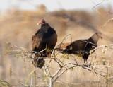turkey vultures in bald cypress