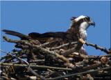Sitting Osprey