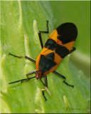 Large Milkweed Bug ~ Oncopeltus fasciatus