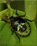 Chinavia hilaris - Green Stink Bug Nymph
