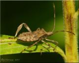 Coreidae ~ Leaf-footed Bug