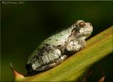 Gray Treefrog ~ Hyla versicolor