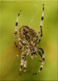 Cross Spider ~ Araneus diadematus