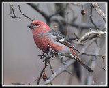 Pine Grosbeak Male