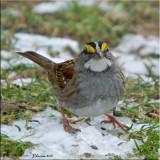 Eastern Sparrows & Kin