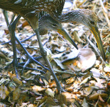 Mom & Dad_Limpkin checking me out