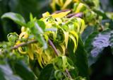 More Ylang-ylang  Flowers