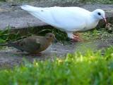 White Rock Dove & Turtle Dove Buddies ...
