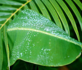 a large Banana Leaf holds a lot of Water for the locals ...